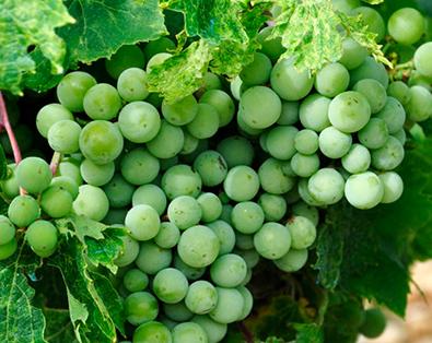 Масло от гроздови семки