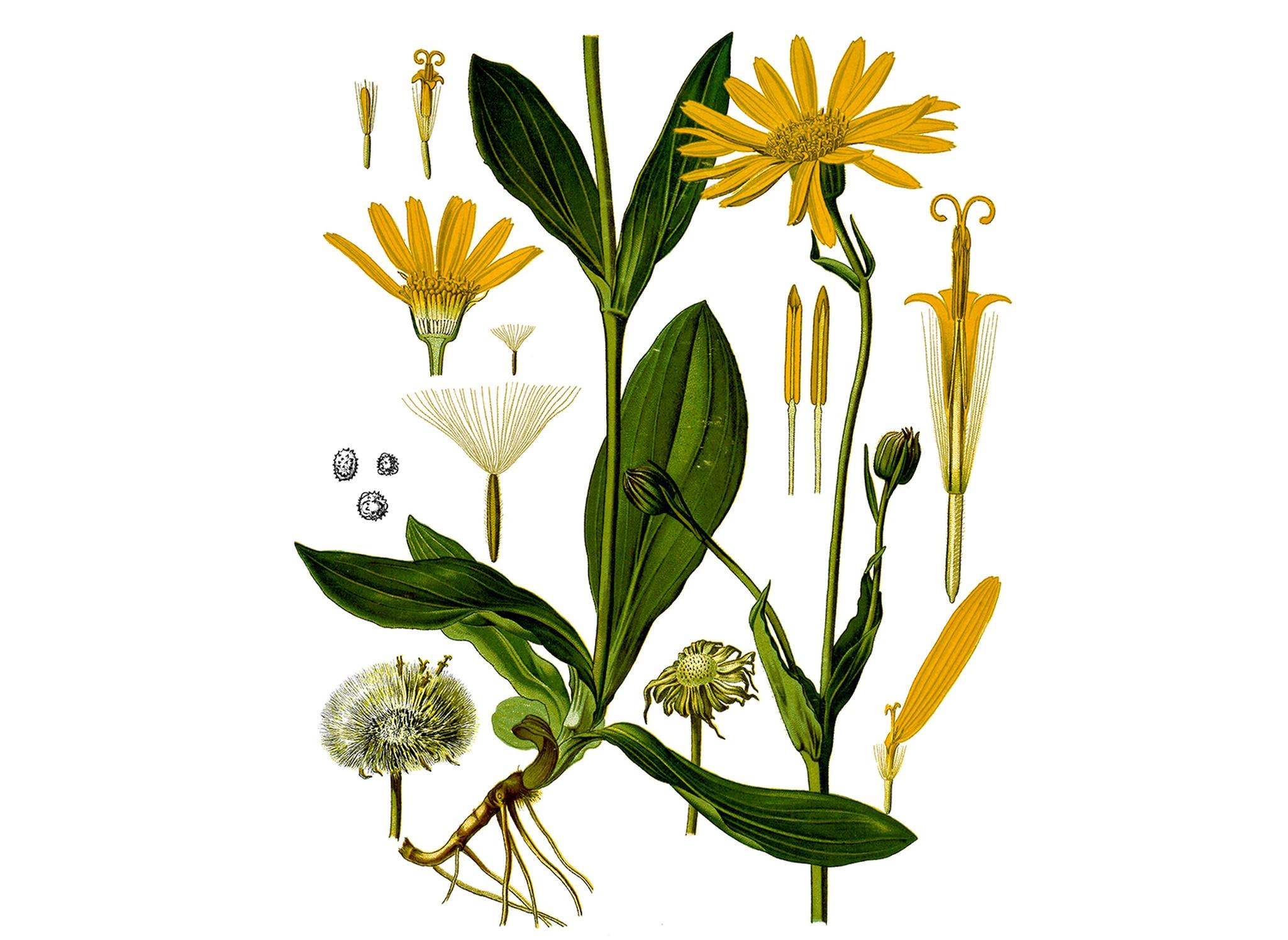 Арника Монтана - вълшебното цвете